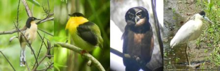 |   4 DAYS BIRDING TOUR   |    Black-capped Donacobious,Golden-collared Manaking,Spectacle Owl, Black-crowned Night-Heron